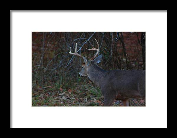 Whitetail Deer Framed Print featuring the photograph Deer by Jake Busby