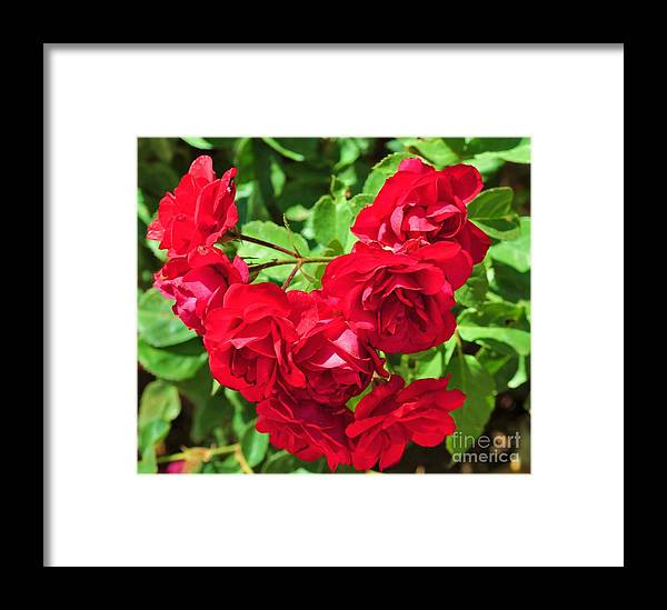 Flower Framed Print featuring the photograph Desert Roses by George Sylvia