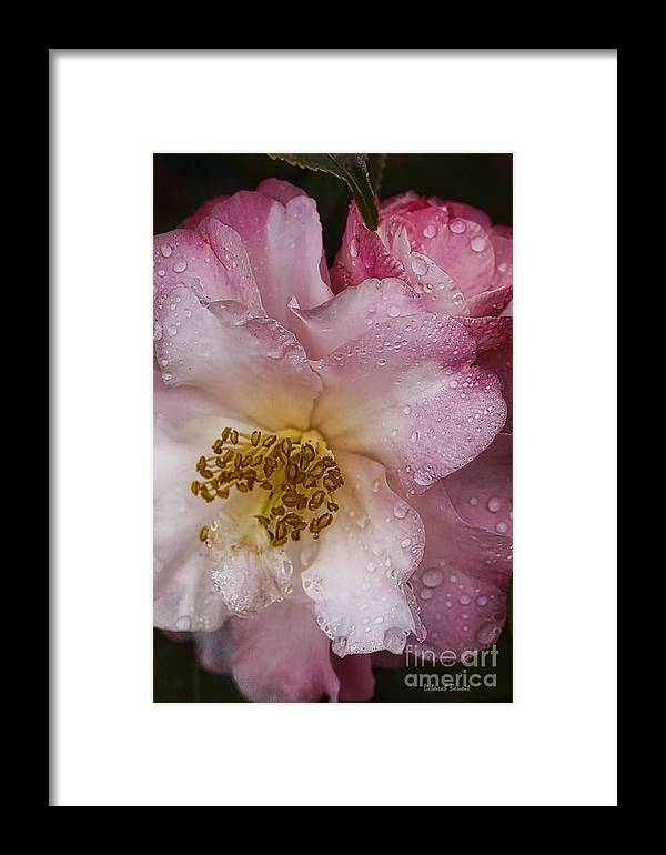 Flowers Framed Print featuring the photograph Dew Drops On Pink by Deborah Benoit