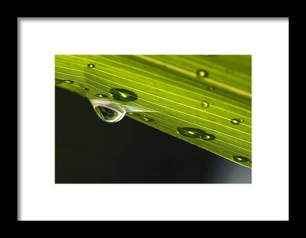 Mp Framed Print featuring the photograph Dew On Leaf, Germany by Konrad Wothe