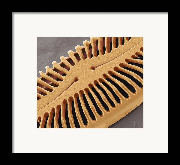 Pinnularia Sp Framed Print featuring the photograph Diatom Frustule, Sem by Steve Gschmeissner
