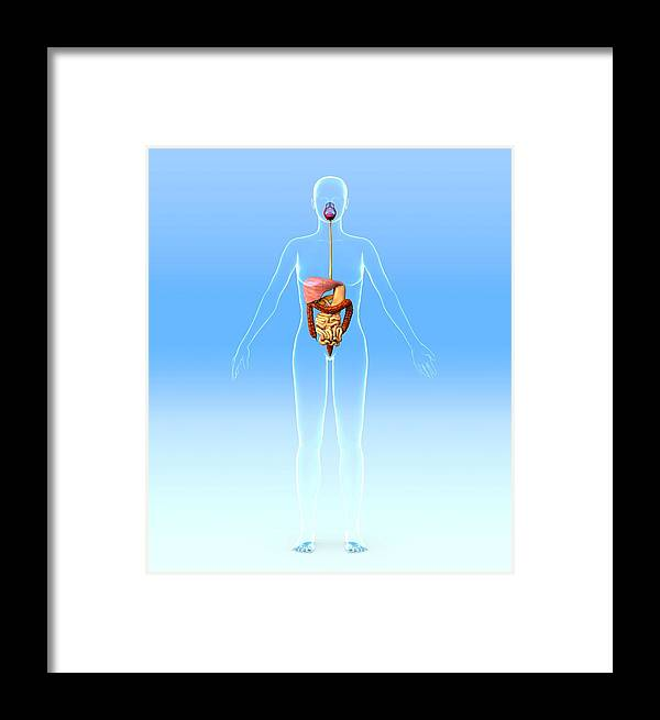 Liver Framed Print featuring the photograph Digestive System, Artwork by Roger Harris
