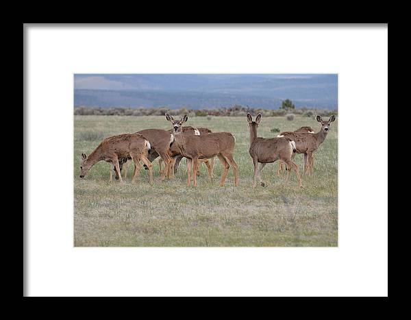 Deer Framed Print featuring the photograph Dinner Before The Storm by Linda Larson