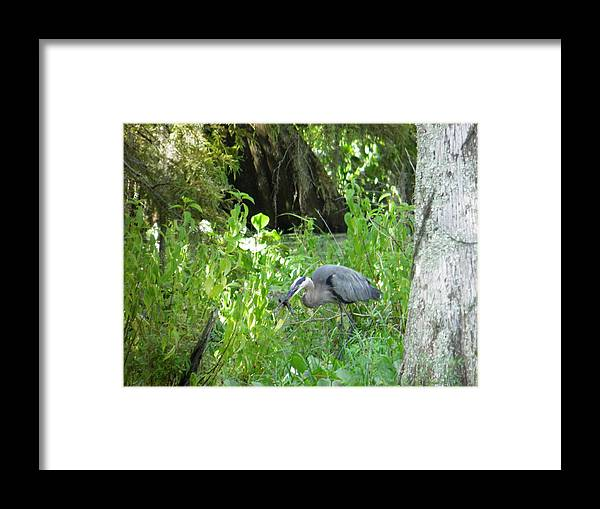 Alligator Framed Print featuring the photograph Dinner Time by Larry Eddy