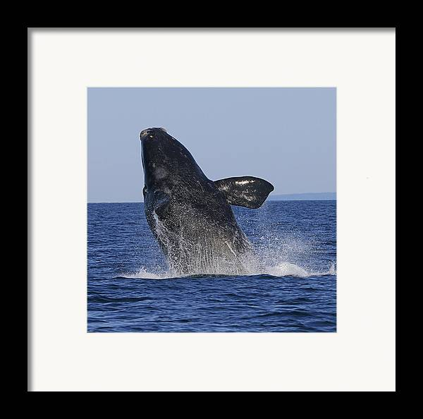 Right Whale Breach Framed Print featuring the photograph Discovering Another Dimension by Tony Beck