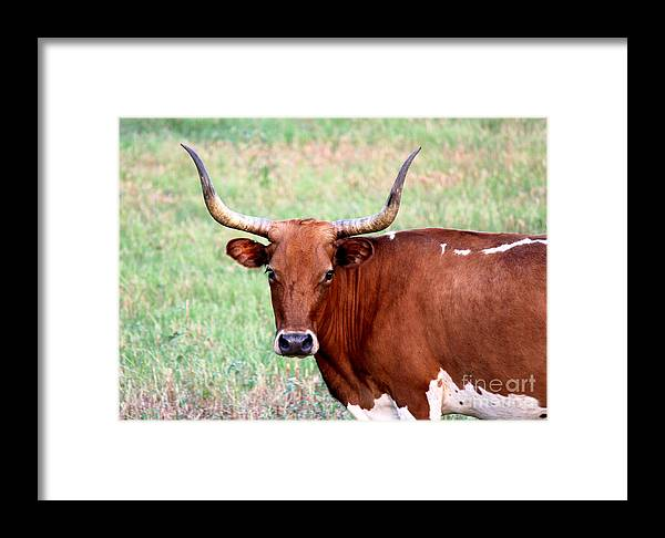 Texas Longhorn Framed Print featuring the photograph Do Not Mess With Me by Kathy White