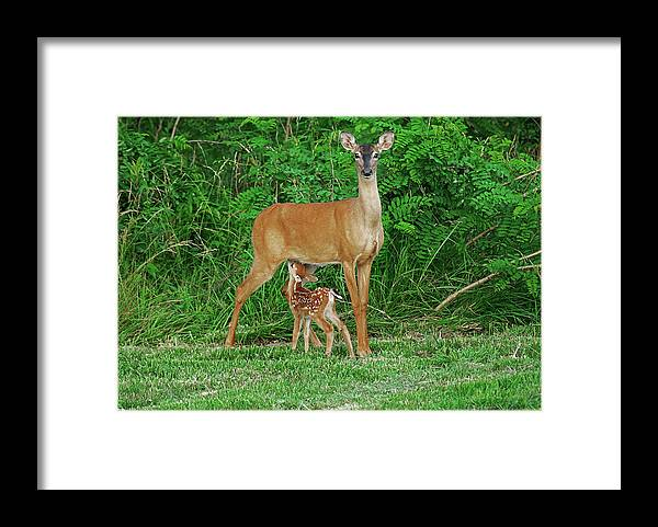 Doe Framed Print featuring the photograph Doe and Nursing Fawn by Fred Kirchhoff