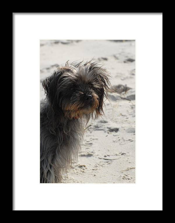 Norfolk Terrirer Dog Canvas Prints Framed Print featuring the photograph Dog 50 by Joyce StJames