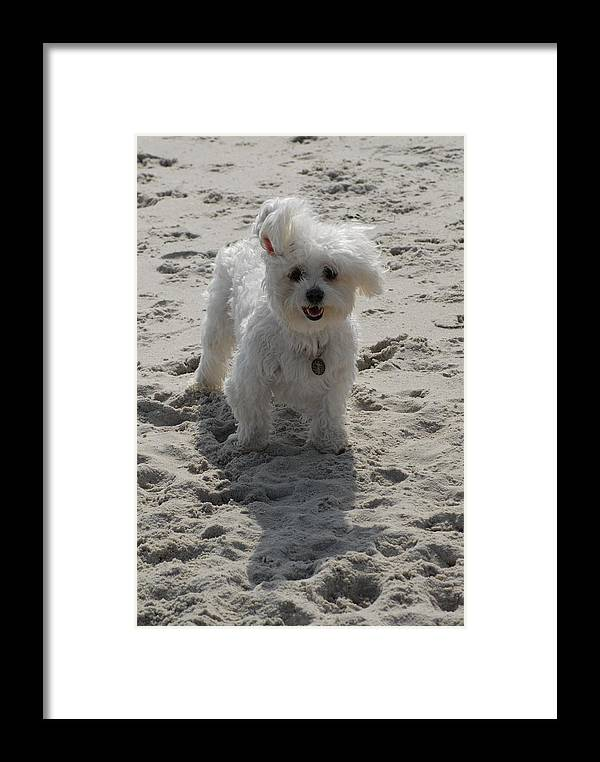 Yorkiepoo Framed Print featuring the photograph Dog 51 by Joyce StJames