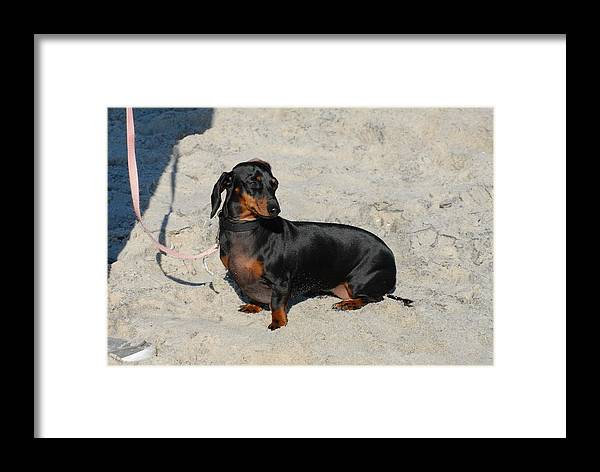 Dachshund Framed Print featuring the photograph Dog 53 by Joyce StJames