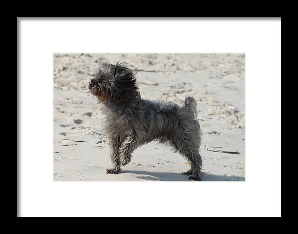 Norfolk Terrirer Dog Canvas Prints Framed Print featuring the photograph Dog 54 by Joyce StJames