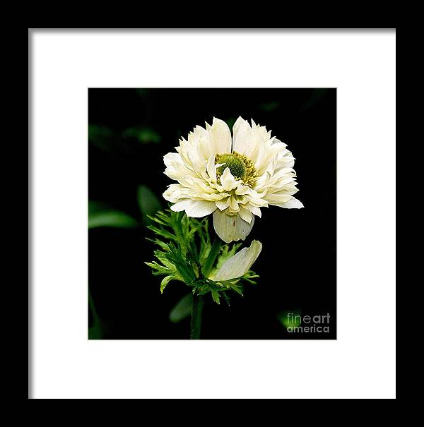 Nature Framed Print featuring the photograph Double Poppy Anemone 2 by Tanya Searcy