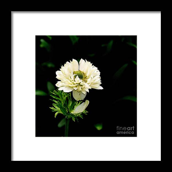 Nature Framed Print featuring the photograph Double Poppy Anemone by Tanya Searcy