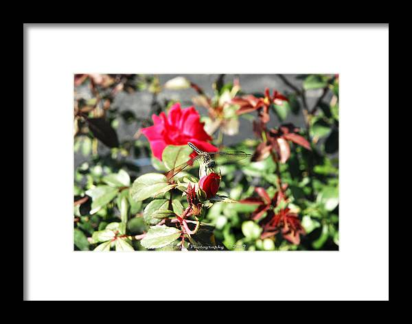 Framed Print featuring the photograph Dragon Fly Rose Bud by G Adam Orosco