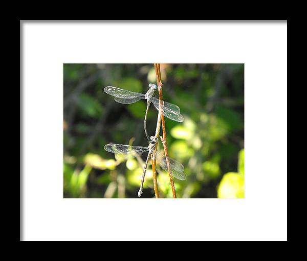 Dragonflies Framed Print featuring the photograph Dragonflies by Paulina Roybal