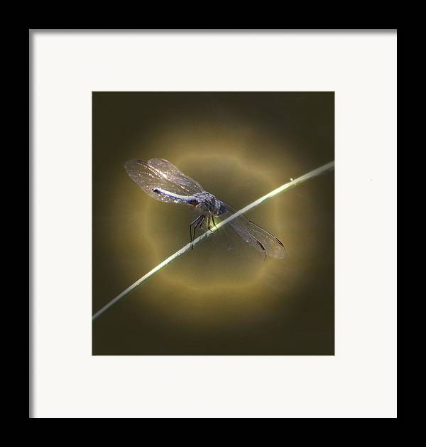 Insect Framed Print featuring the photograph Dragonfly 1 by Judith Szantyr