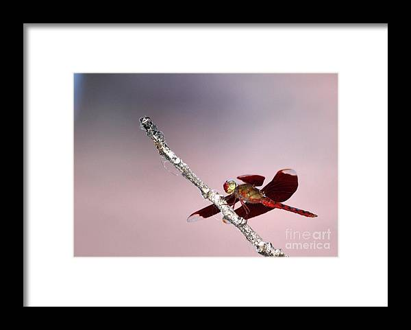 Dragonfly Framed Print featuring the photograph Dragonfly On A Pastel Sky by Nola Lee Kelsey