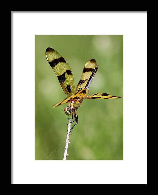 Dragonfly Framed Print featuring the photograph Dragonfly by Travis Truelove