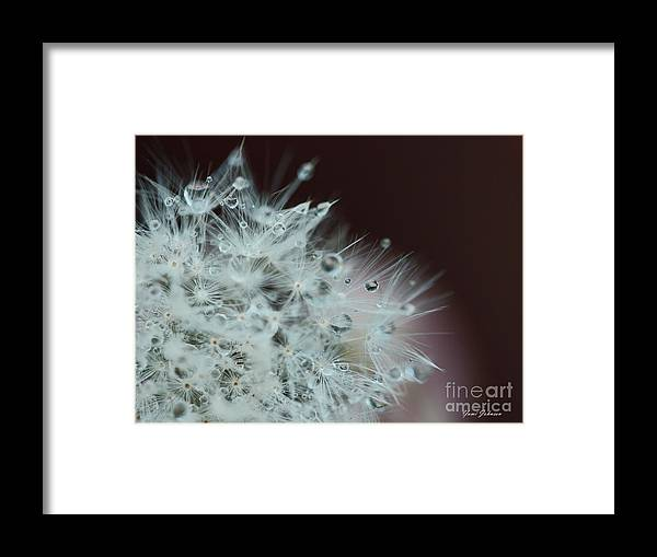 Dandelion Seed Framed Print featuring the photograph Droplets On The Dandelion by Yumi Johnson