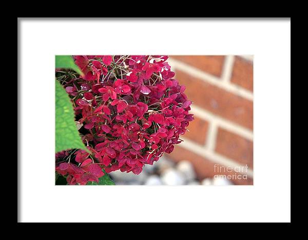 Natural Framed Print featuring the photograph Dry Hydrangea by Yumi Johnson