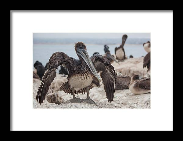 Pelican Framed Print featuring the photograph Drying by Ralf Kaiser