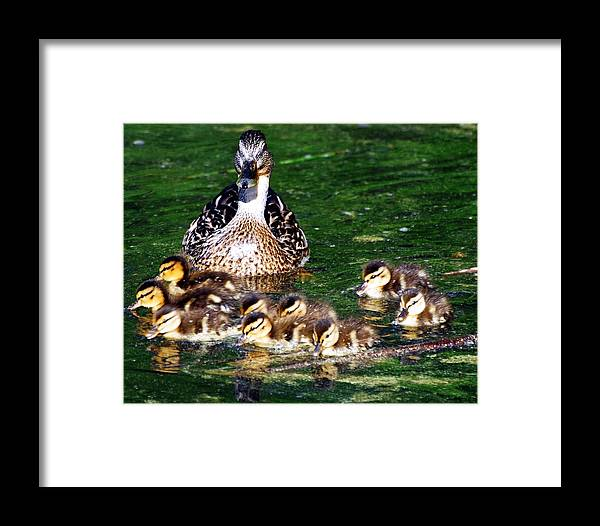 Duck Framed Print featuring the photograph Duck And Ducklings by Don Mann