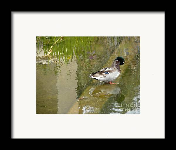 Nature Framed Print featuring the photograph Duck On A Ledge by Silvie Kendall