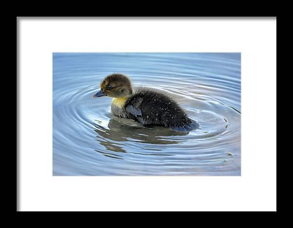 Teresa Blanton Framed Print featuring the photograph Duckling Pool by Teresa Blanton