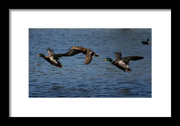 Ducks Framed Print featuring the photograph Ducks In Flight 2 by Sean Sweeney