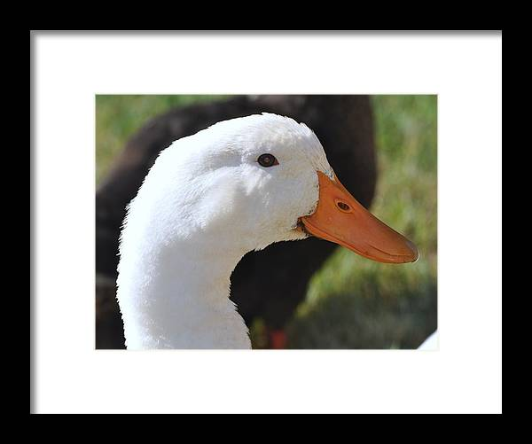 Duckling Framed Print featuring the photograph Duey The Duck by Lisa DiFruscio