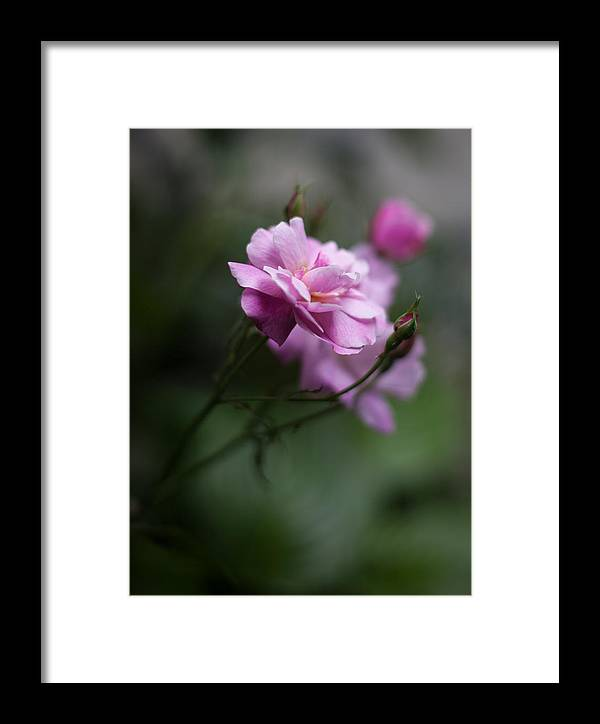 Flower Framed Print featuring the photograph Dusk Light Roses by Mike Reid