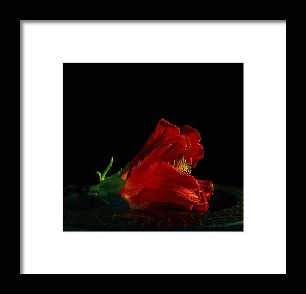 Photographer Framed Print featuring the photograph Dying Rose by Davor Sintic