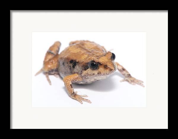 Limnodynastes Dumerili Framed Print featuring the photograph Eastern Banjo Frog Isolated On White by Brooke Whatnall