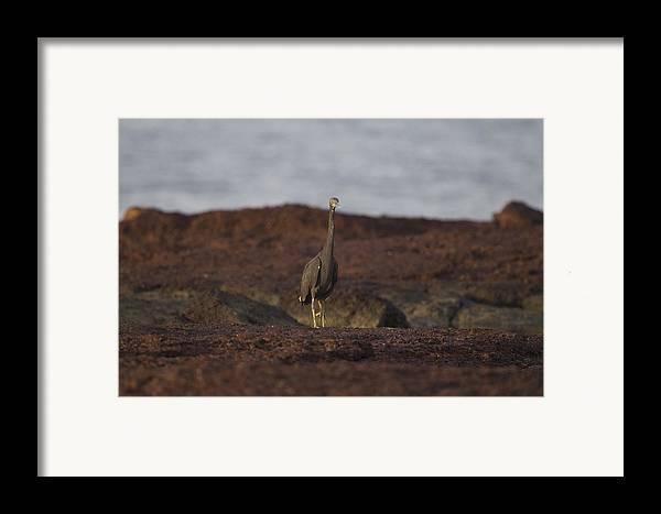 Eastern Reef Egret Framed Print featuring the photograph Eastern Reef Egret-dark Morph by Douglas Barnard