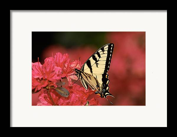 Butterfly Framed Print featuring the photograph Eastern Yellow Tiger Swallowtail And Azaleas by Lara Ellis
