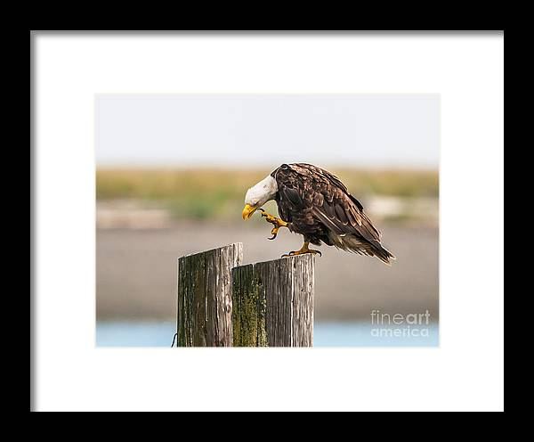 Bald Eagle Framed Print featuring the photograph Easy Does It by Gary Davenport