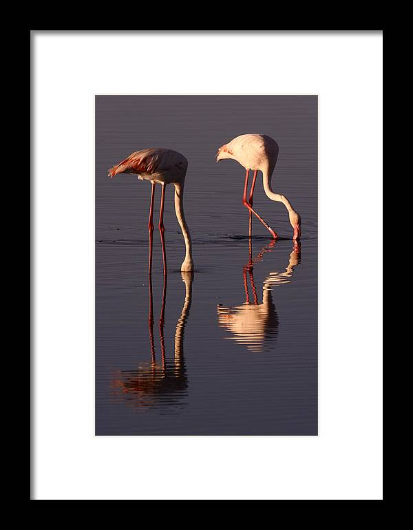 Reflection Framed Print featuring the photograph Eating Flamingos by Zombory Andras
