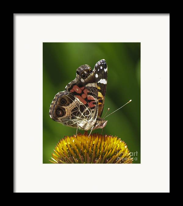 Echinacea Framed Print featuring the photograph Echinacea Butterfly Meal by Darleen Stry