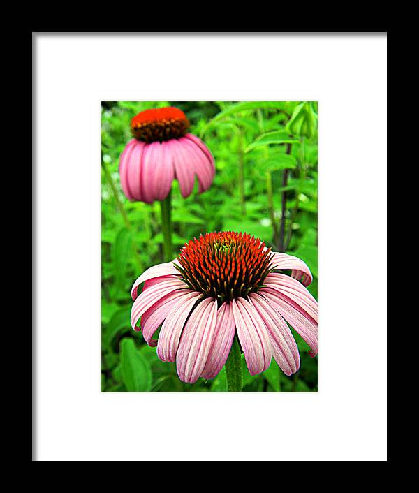 Framed Print featuring the photograph Echinacea Duo by Mark J Seefeldt