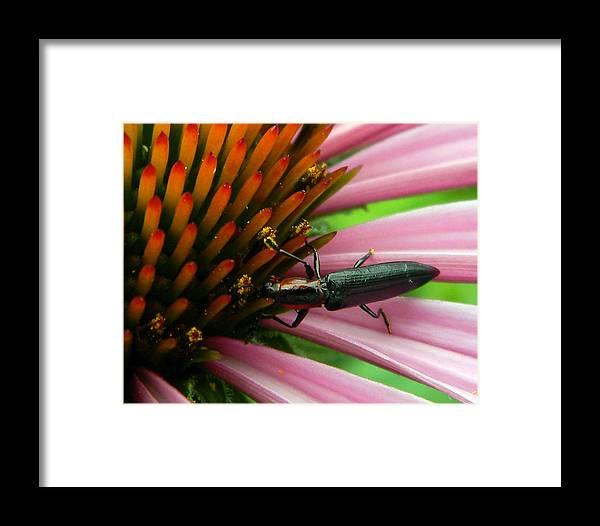 Framed Print featuring the photograph Echinacea Visitor by Mark J Seefeldt