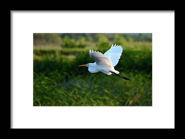 Egret Framed Print featuring the photograph Egret Passing By by Kathy Gibbons