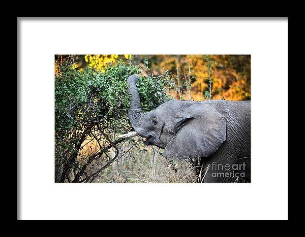Elephant Framed Print featuring the photograph Elephant Detail by Gualtiero Boffi