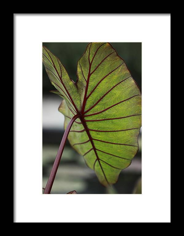 Plant Framed Print featuring the photograph Elephant Ear by Paul Slebodnick
