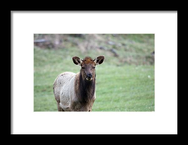 Northwest Trek Framed Print featuring the photograph Elk - 0024 by S and S Photo