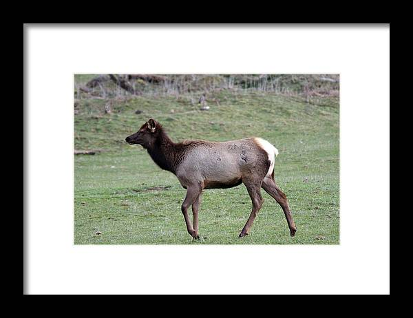Northwest Trek Framed Print featuring the photograph Elk - 0037 by S and S Photo