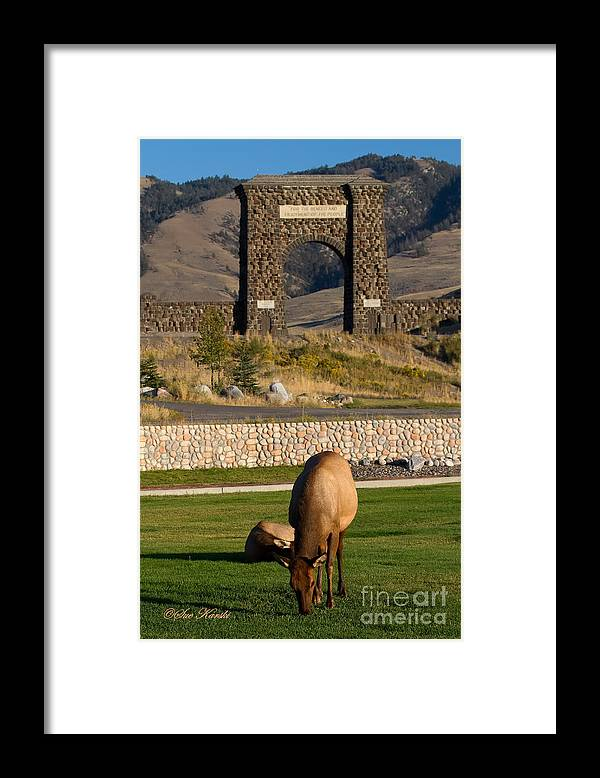 Elk Framed Print featuring the photograph Elk At Yellowstone Entrance by Sue Karski
