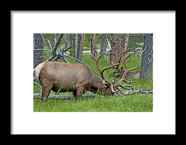 Elk Framed Print featuring the photograph Elk Meadow by Eric Nelson