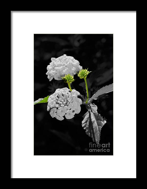Lantana Framed Print featuring the photograph Emerging by Betty LaRue