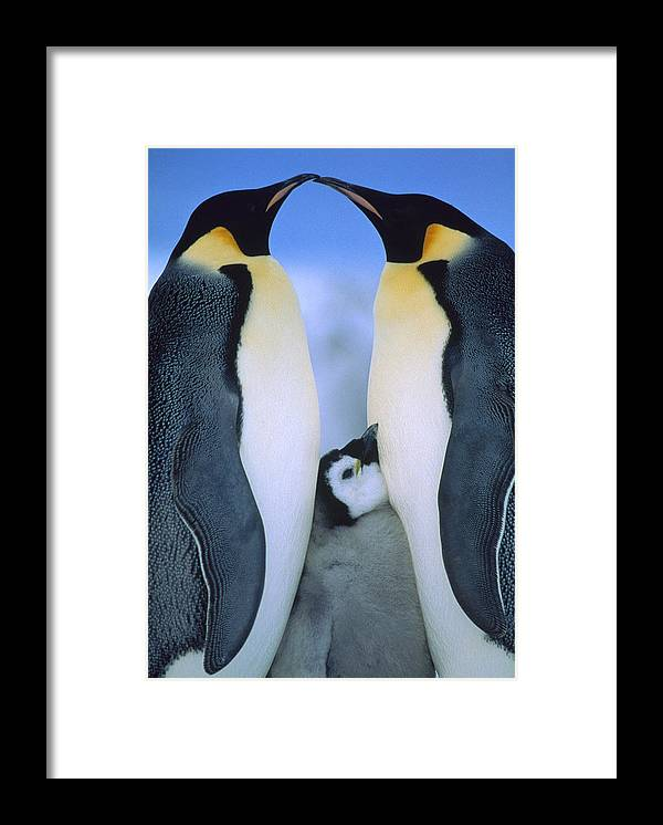 Affection Framed Print featuring the photograph Emperor Penguins Aptenodytes Forsteri by Tui De Roy