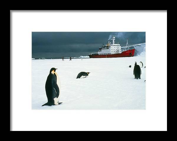 Sea Ice Framed Print featuring the photograph Emperor Penguins On Sea-ice, Antarctica by Doug Allan